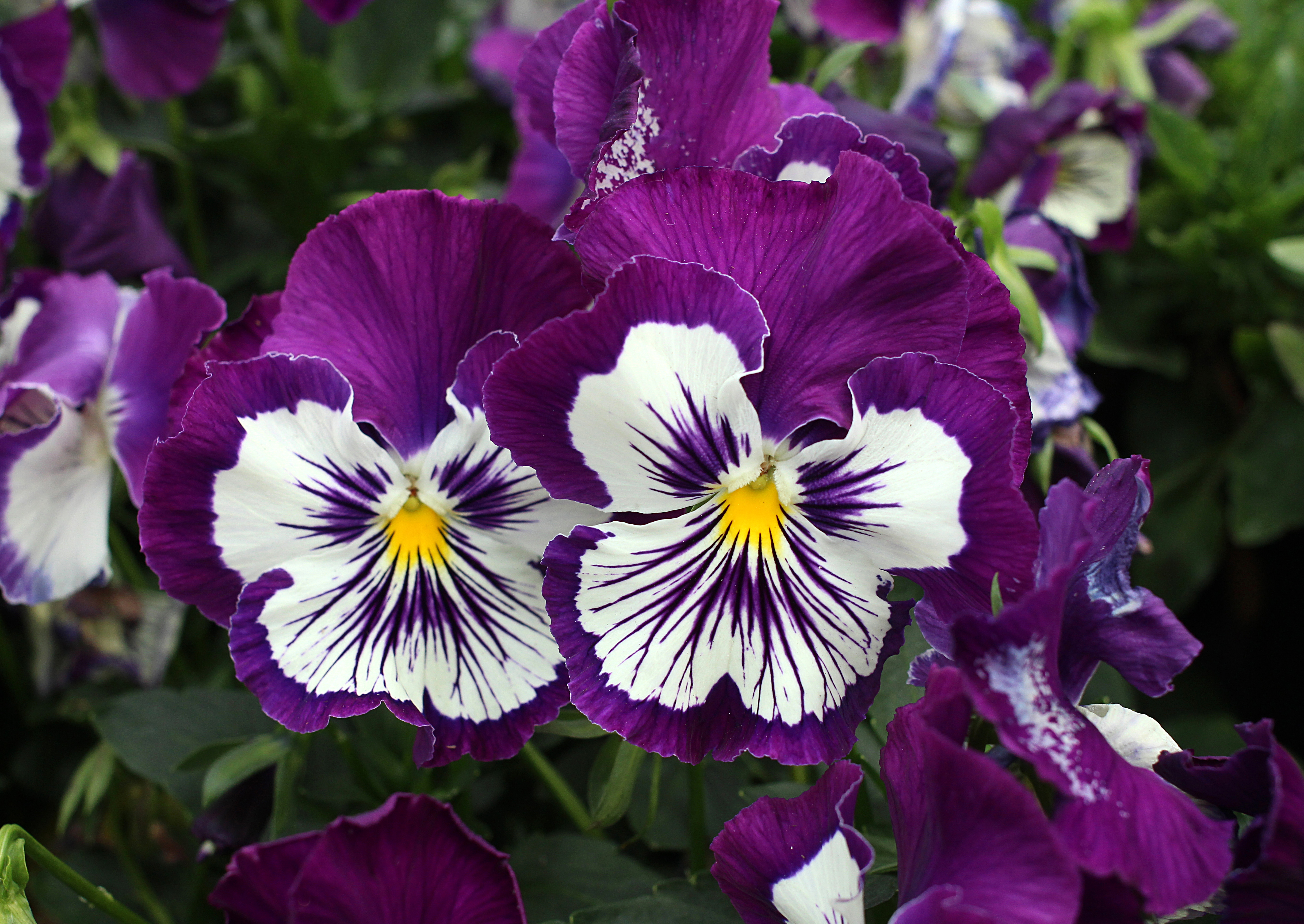 19 Flowers To Paint Your Garden Purple Sunset Magazine