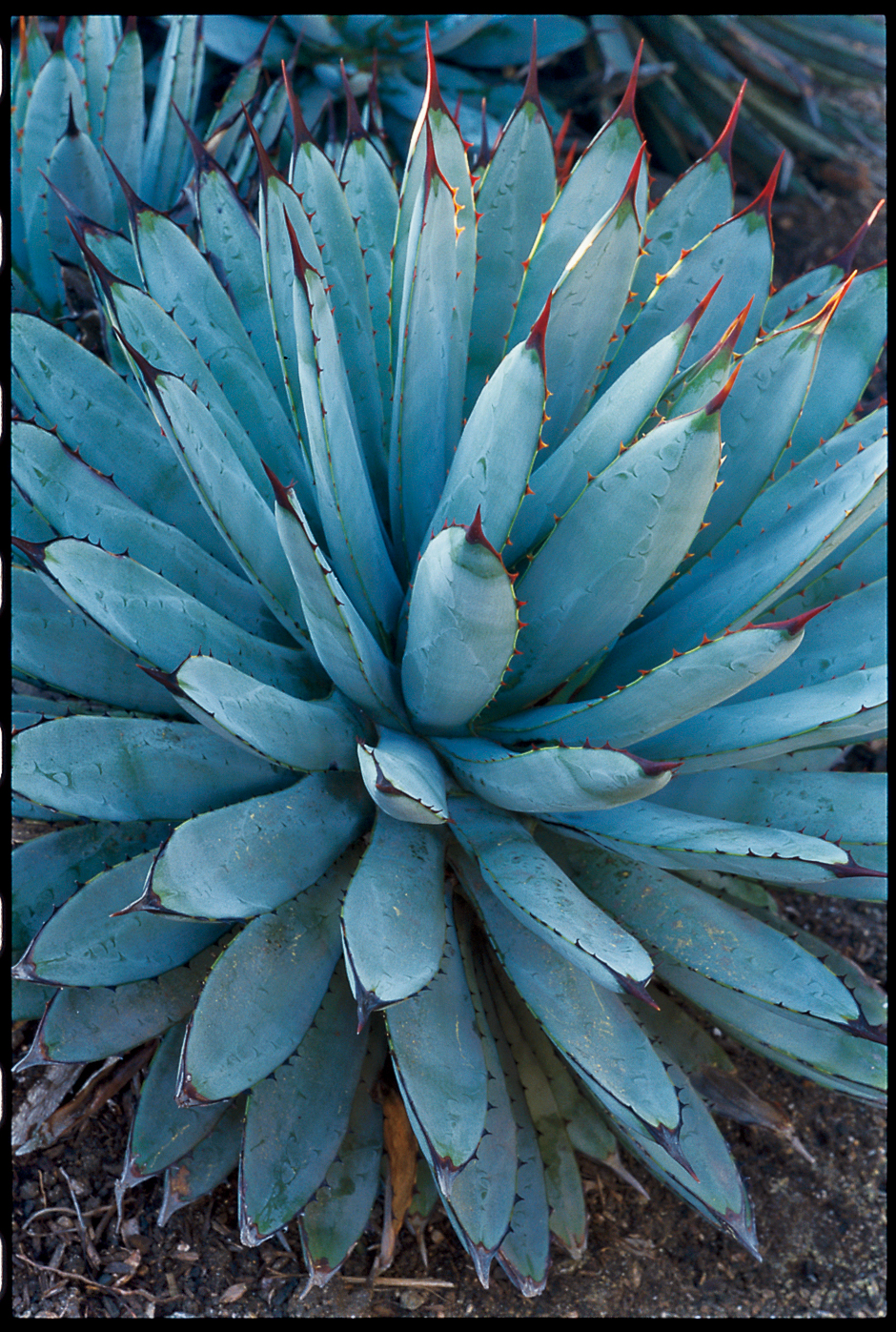 Black spined agave