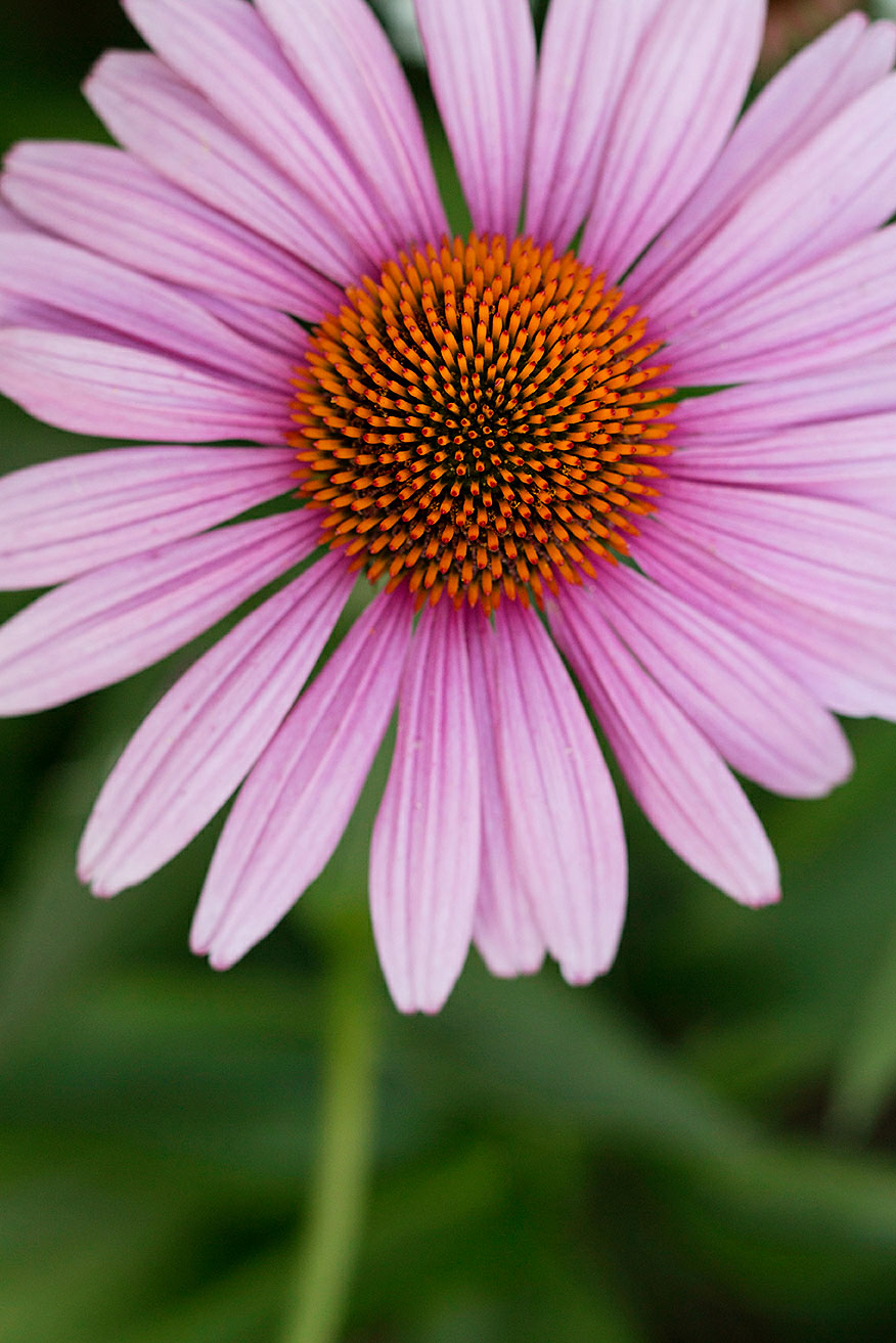 Your Guide To Coneflower Echinacea Sunset Magazine