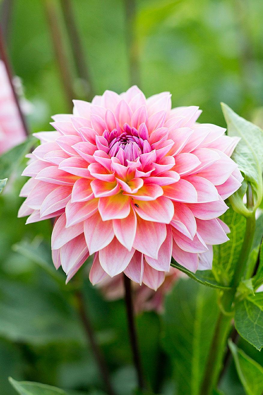 12 best flowers to grow for cutting sunset magazine dahlia izmirmasajfo Gallery