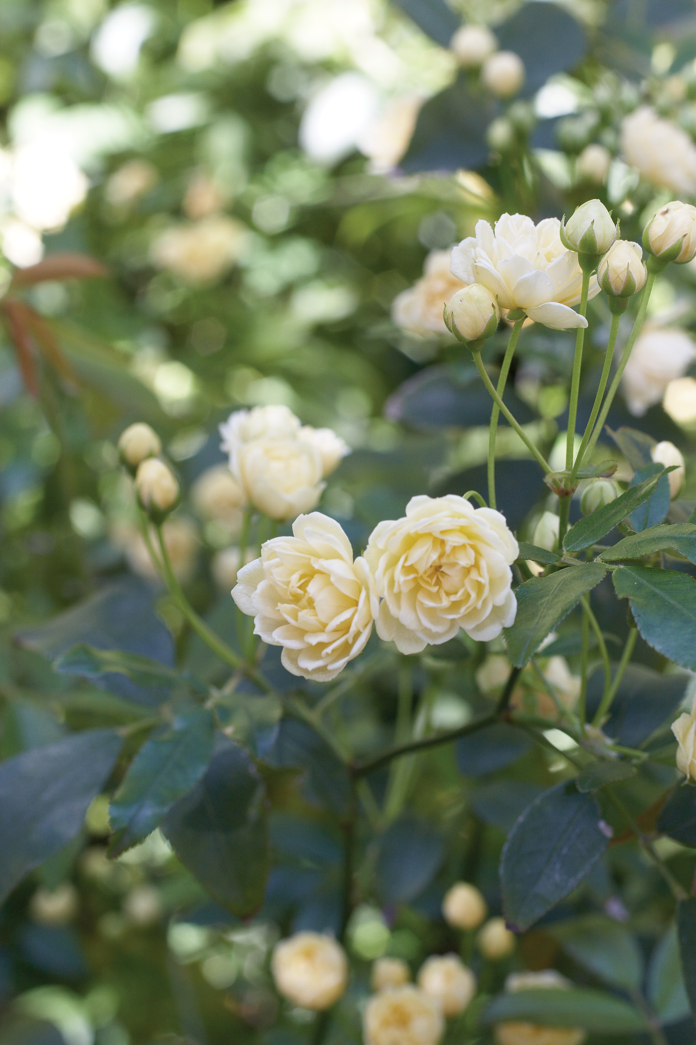 While Most Roses Thrive On Regular Watering These Tough