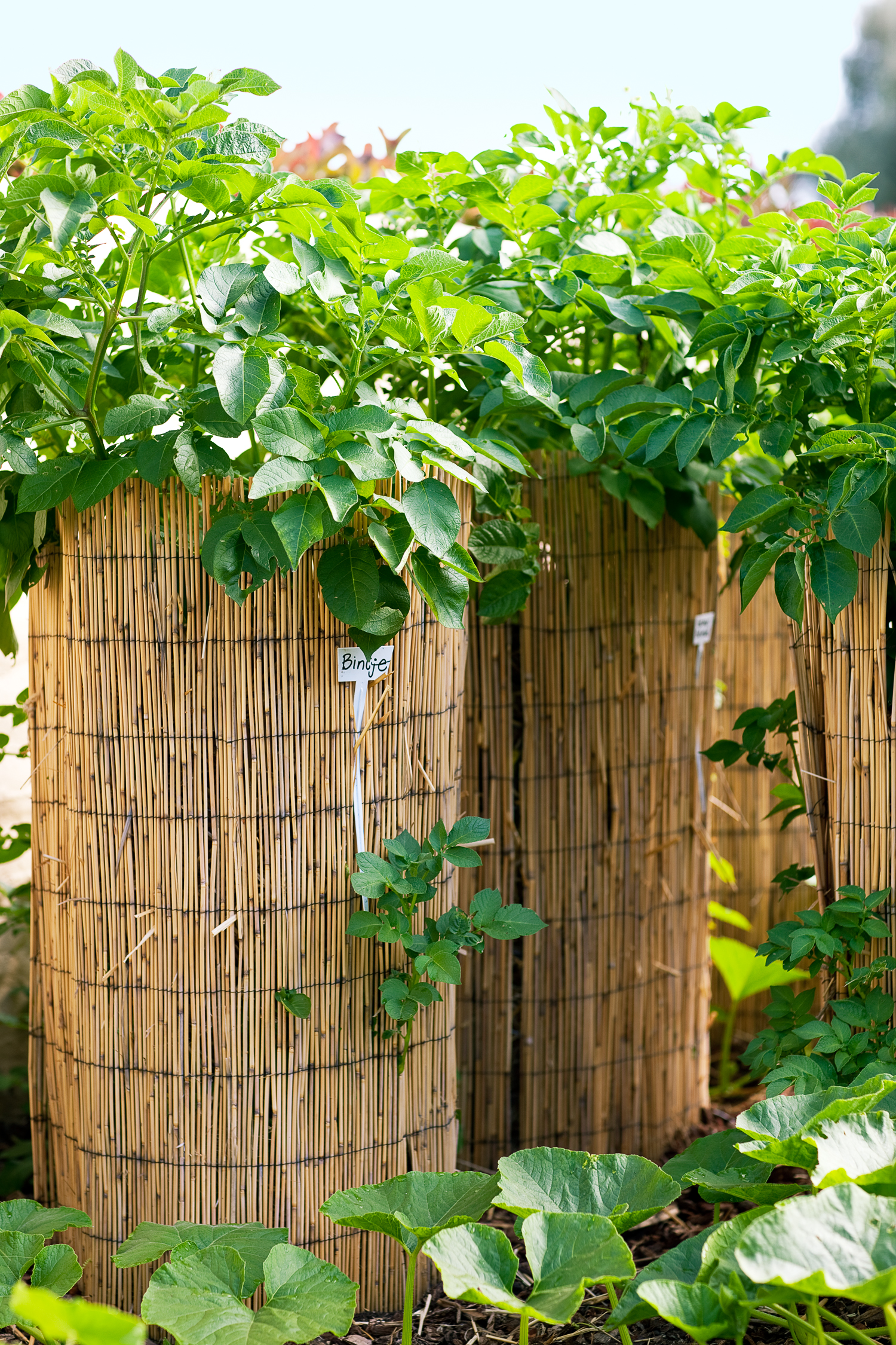 How to Grow Potatoes in Towers - Sunset Magazine