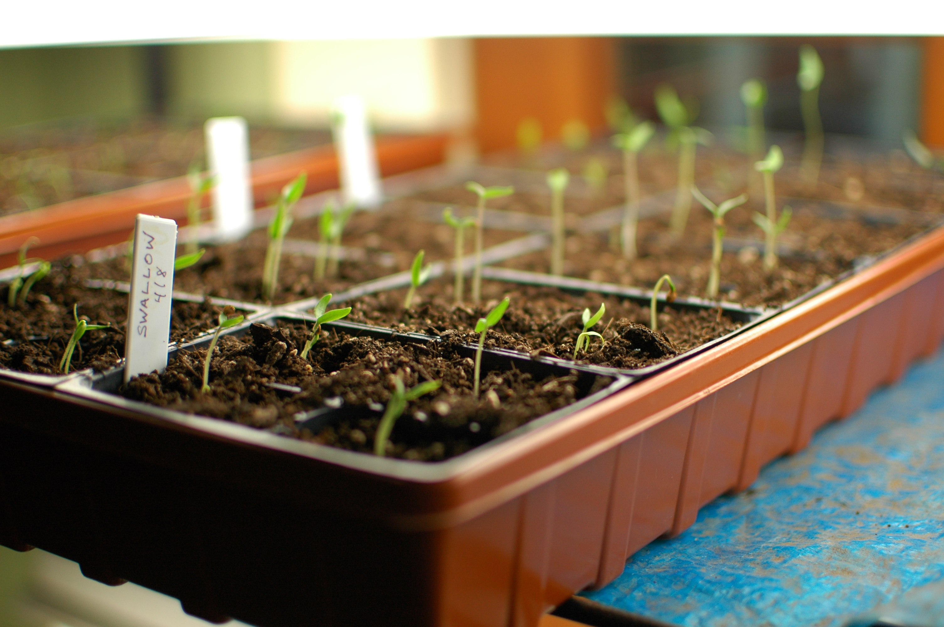 Start Garden Seeds Indoors How to start seeds indoors sunset magazine workwithnaturefo