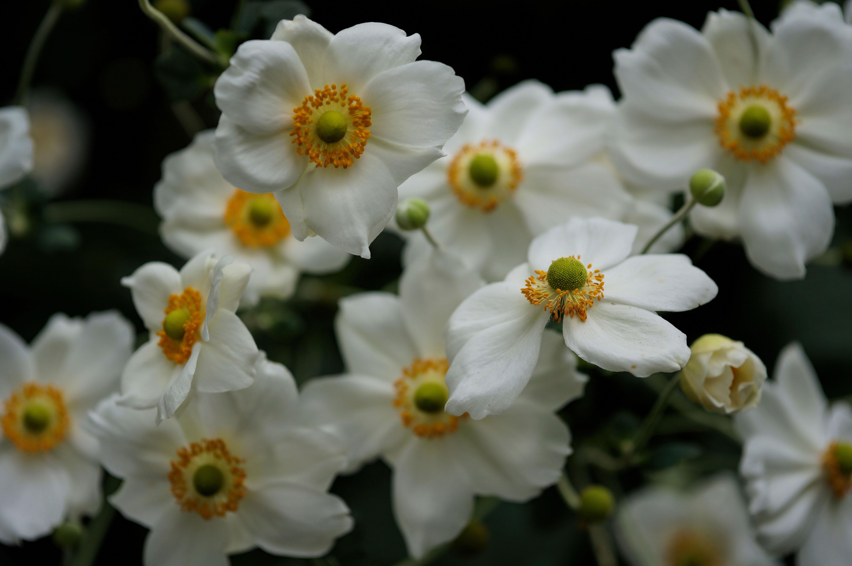 10 show stopping fall flowers for pots sunset magazine japanese anemone ianemone x mightylinksfo