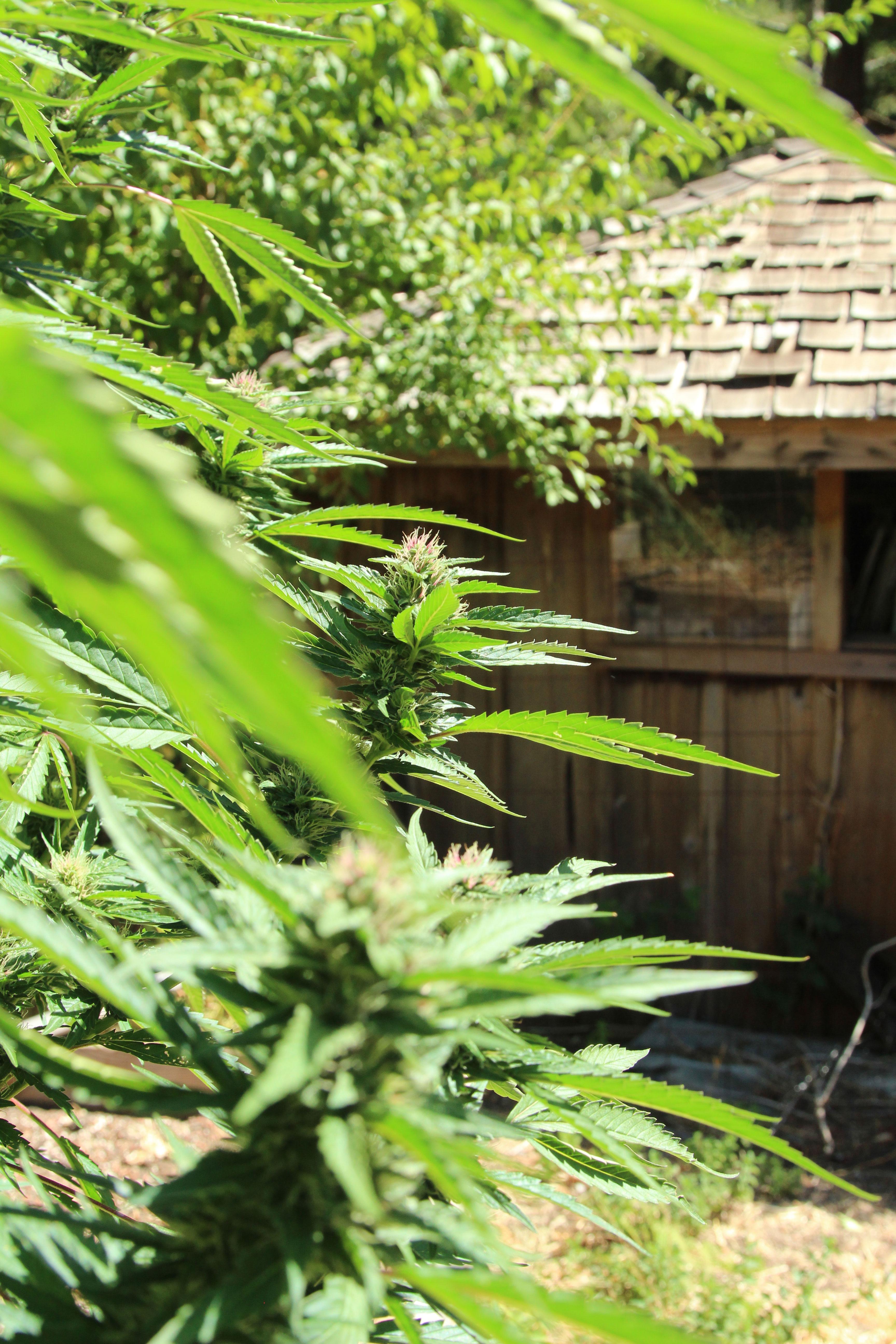 How to Grow Cannabis Outdoors - Sunset Magazine