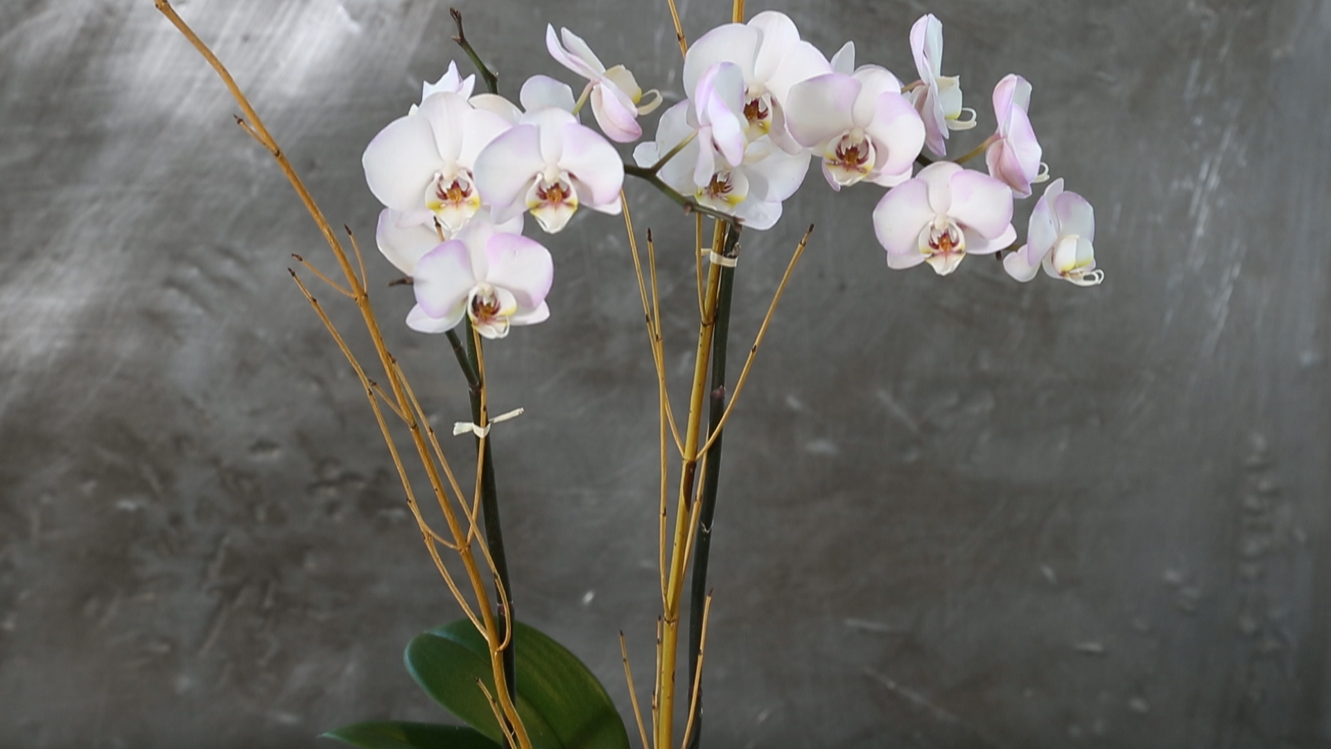 How to replant a beautiful orchid at home