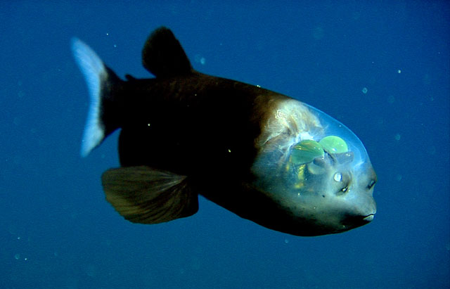 The barreleye (Marcropinna microstoma) --photo provided by Monterey Bay Aquarium Research Institute. (c) 2004 MBARI