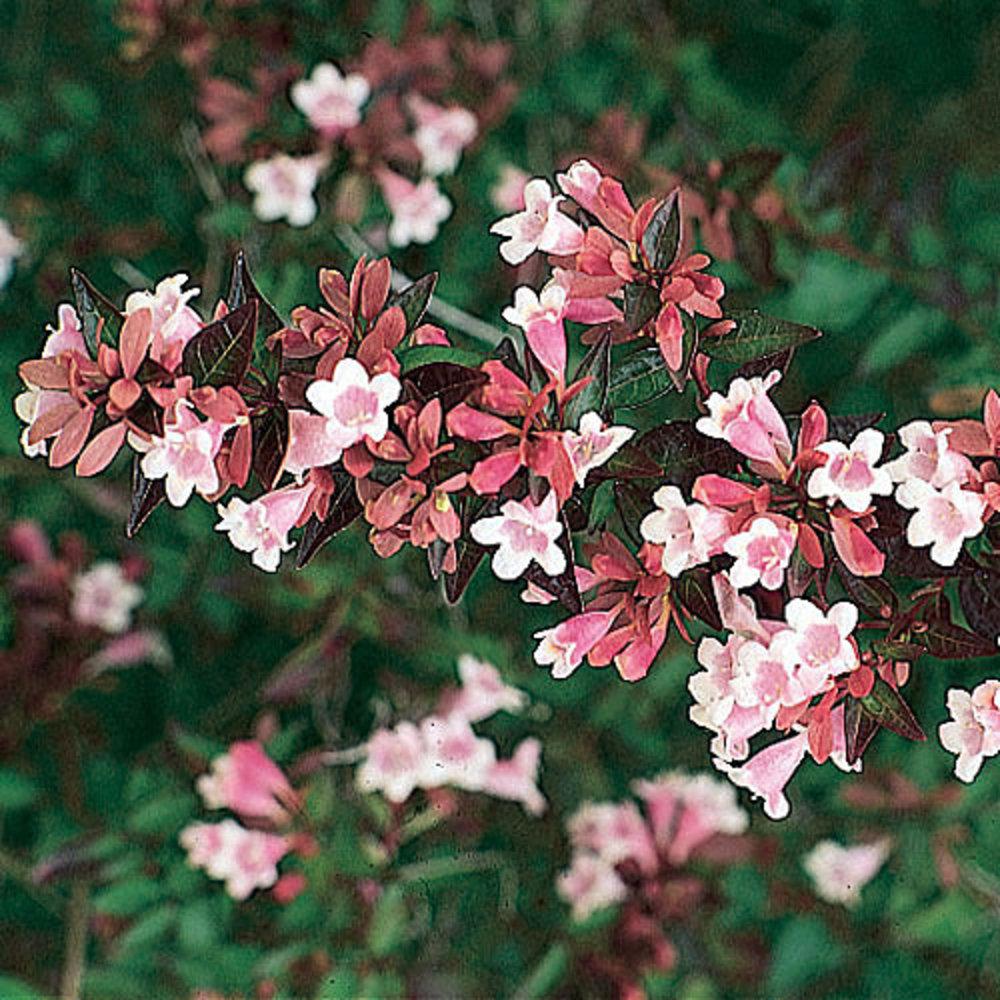 Abelia X Grandiflora Sunset Magazine