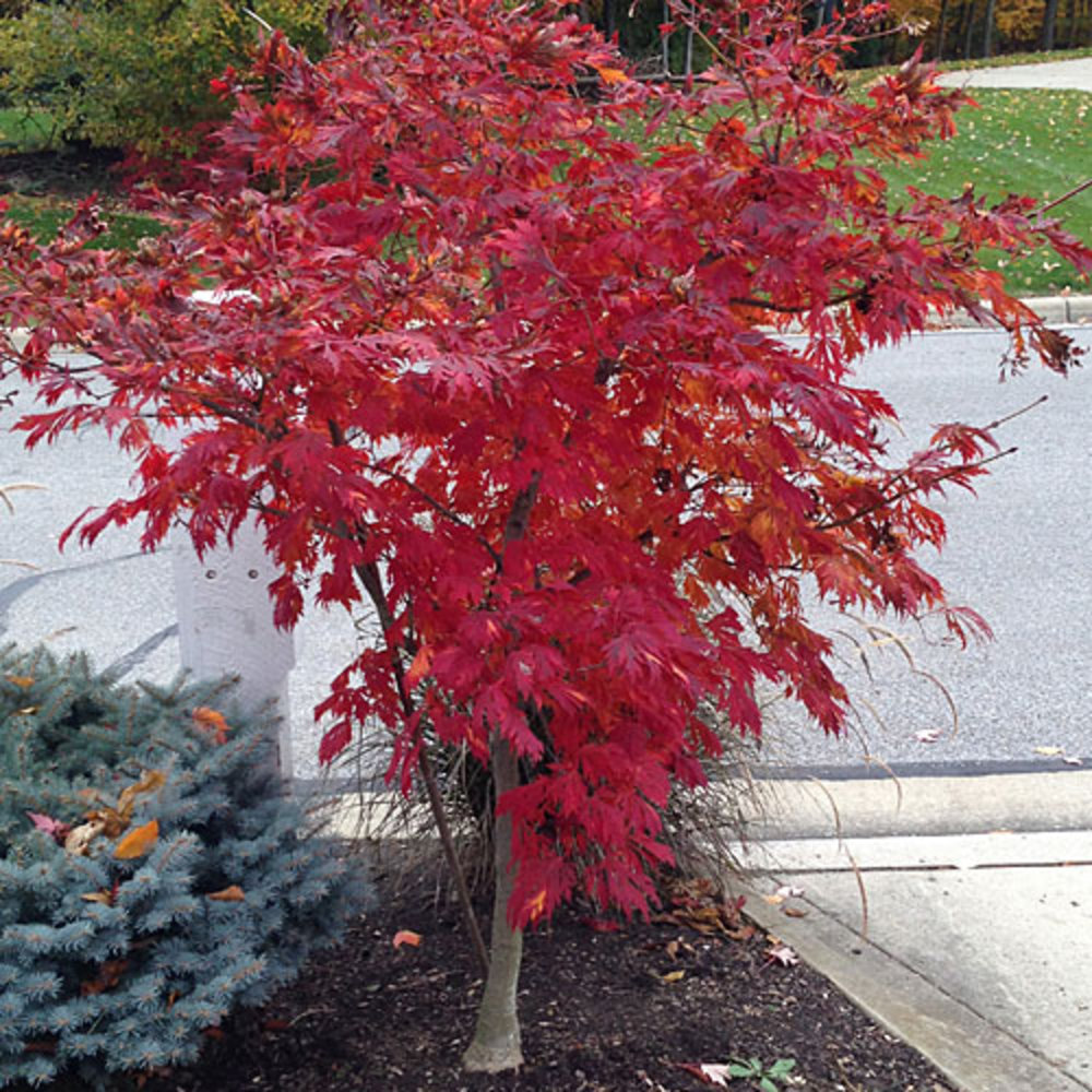 Acer Palmatum Sunset Magazine