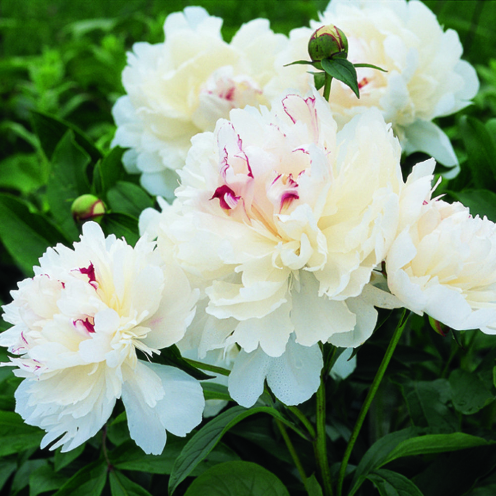 29 gorgeous peonies sunset magazine festiva maxima mightylinksfo