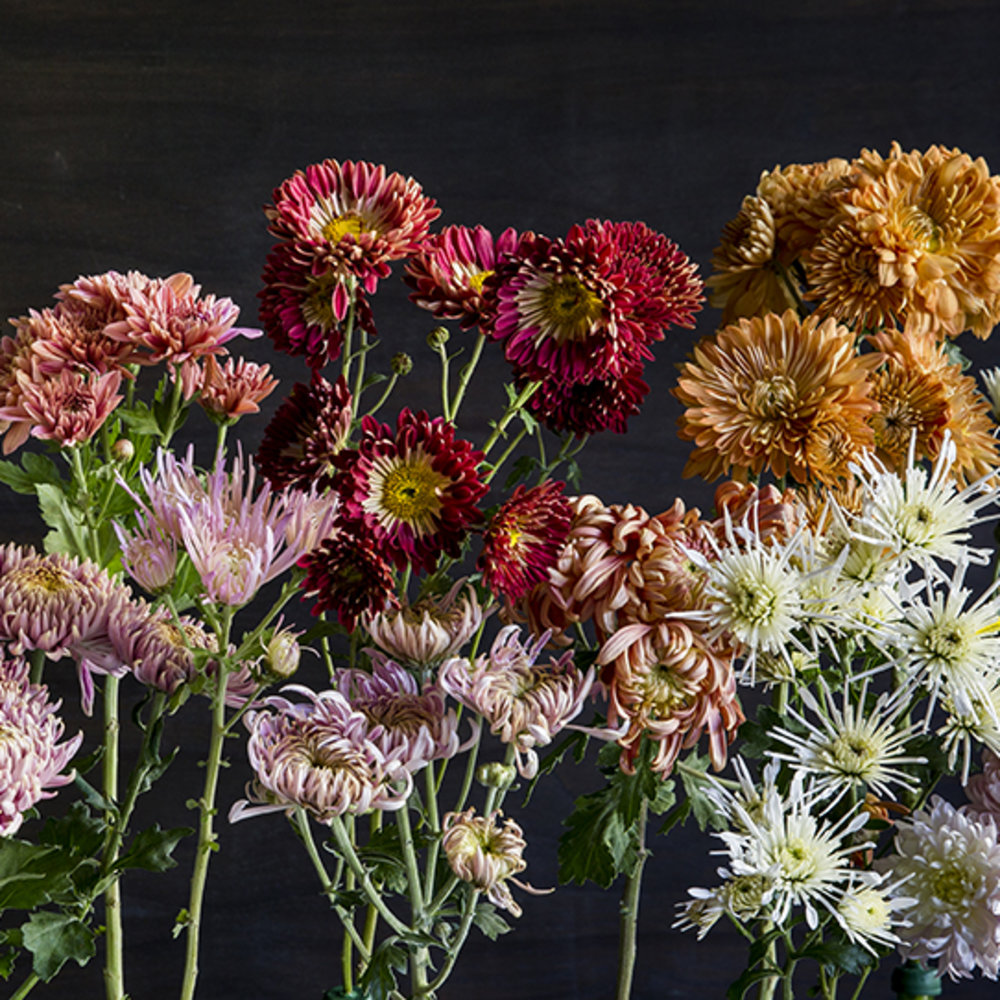 Stunning fall chrysanthemums sunset magazine mightylinksfo