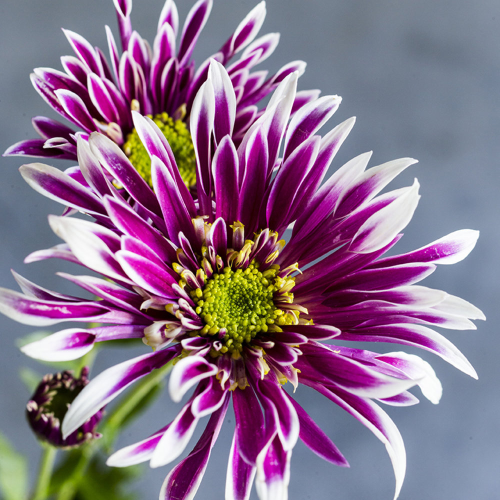 19 stunning fall chrysanthemums sunset magazine saba mightylinksfo