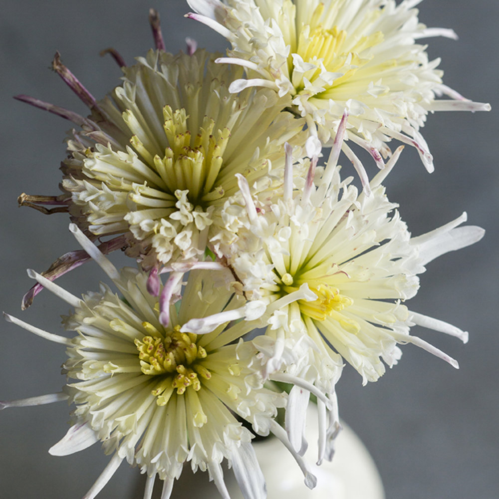 19 stunning fall chrysanthemums sunset magazine vesuvio mightylinksfo Choice Image