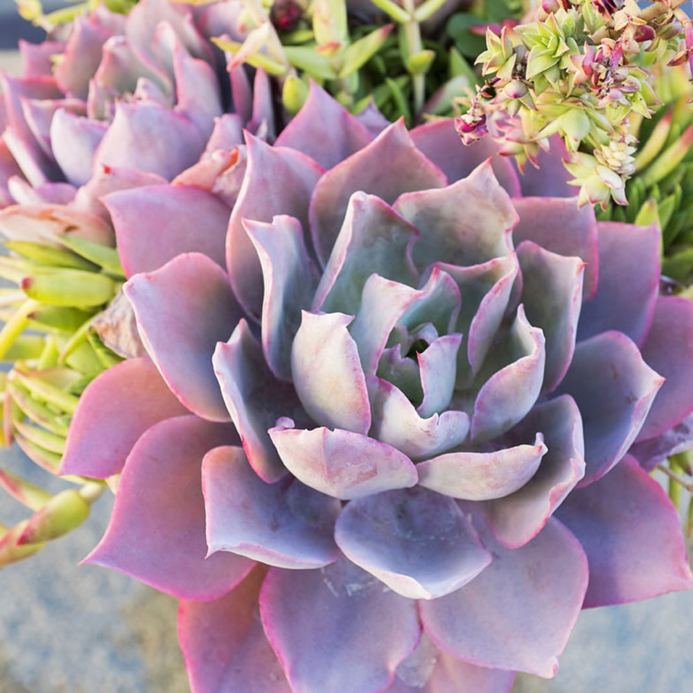Top types of succulents for home gardens sunset magazine izmirmasajfo