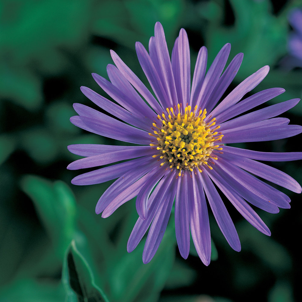 Your guide to asters sunset magazine iaster x frikartiii mightylinksfo Choice Image
