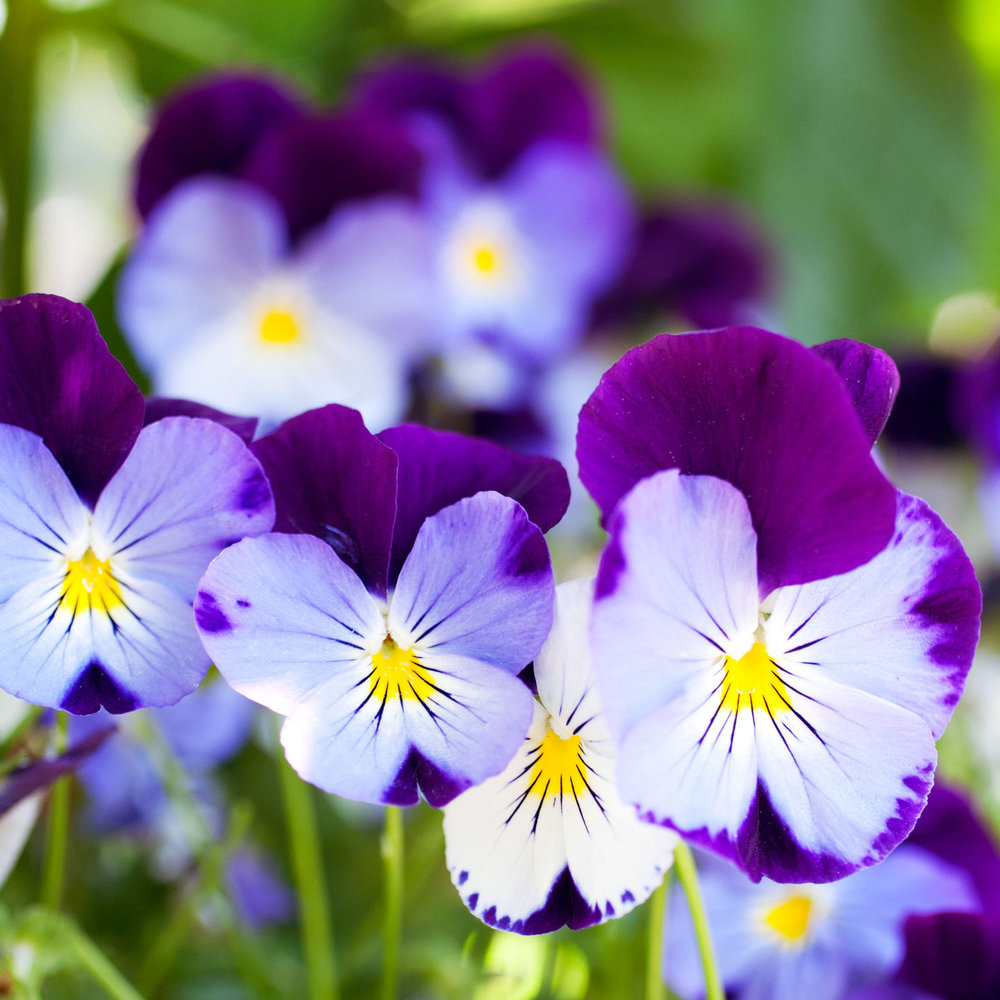 Planting annuals sunset magazine cool wave pansies mightylinksfo