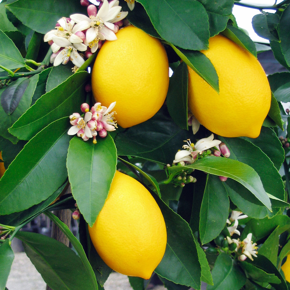 Organic Meyer lemon tree