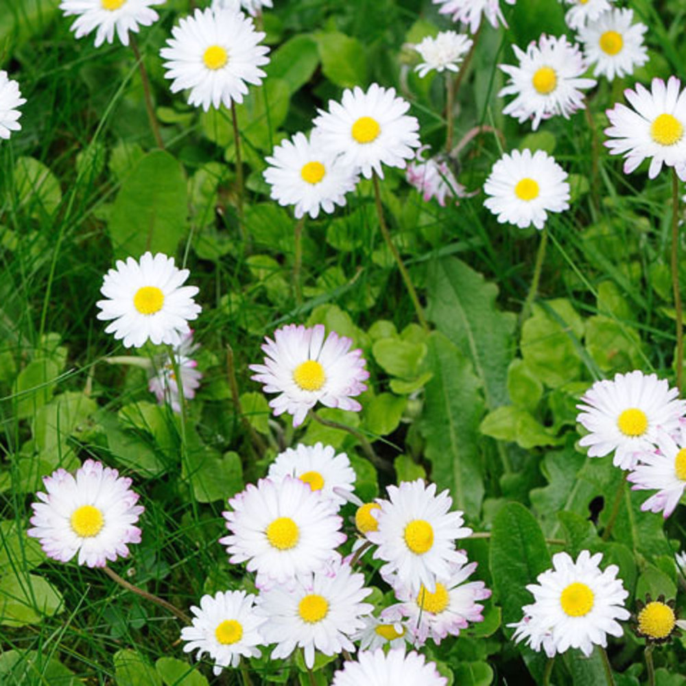 17 best plants for cool season color sunset magazine english daisy bellis perennis izmirmasajfo