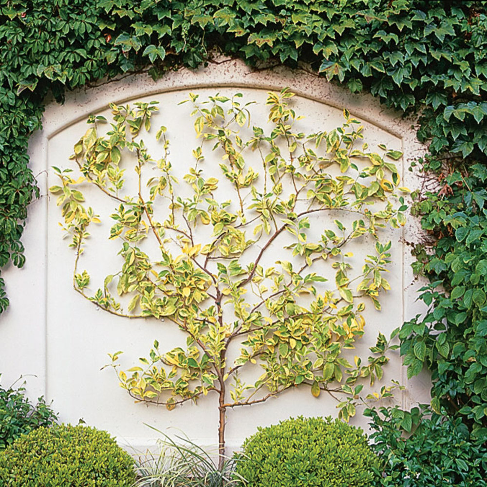 How to Make a Wire Espalier for a Garden Wall - Sunset Magazine