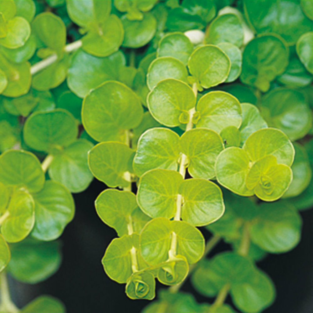 Plant This Fast Growing Groundcover For Bordering A Garden Path Or