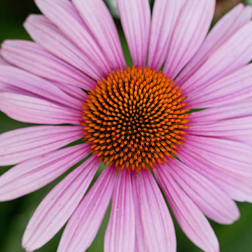 Your guide to coneflower sunset magazine coneflower echinacea purpurea izmirmasajfo Image collections