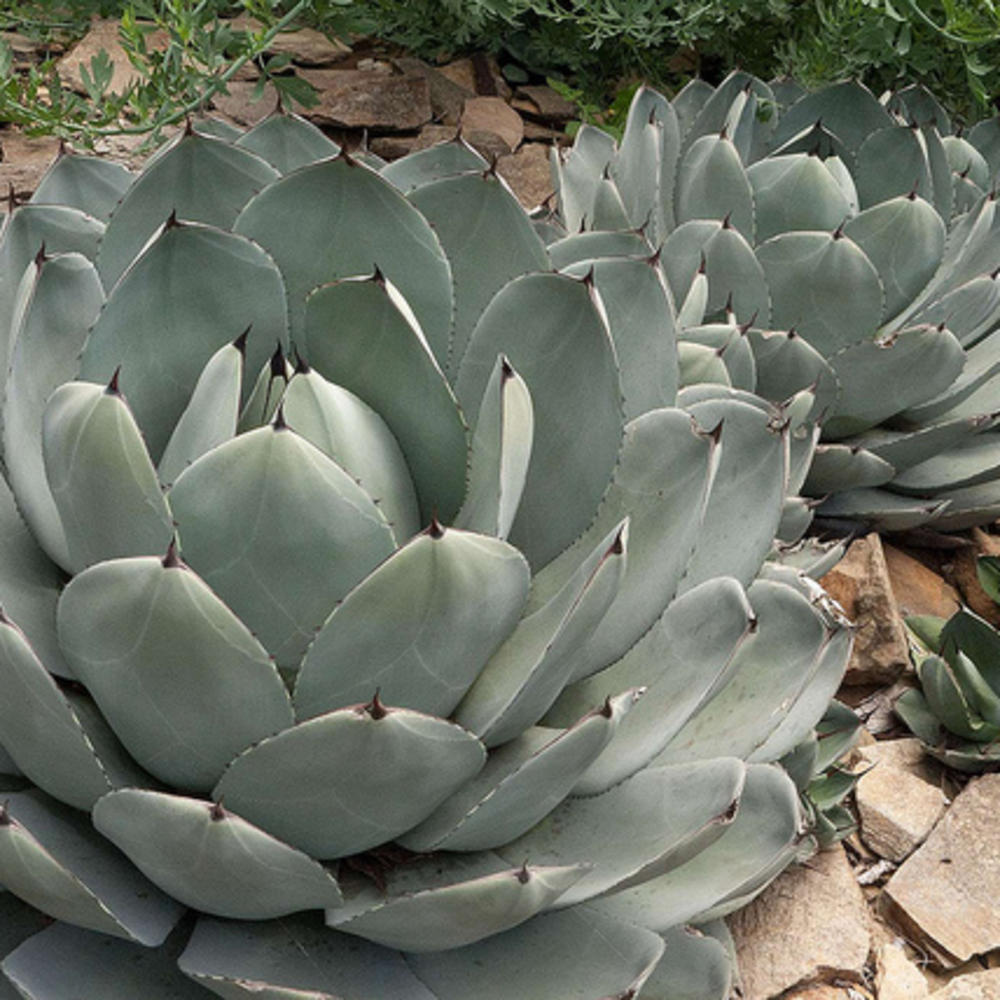 Save Water Plant An Agave Sunset Magazine