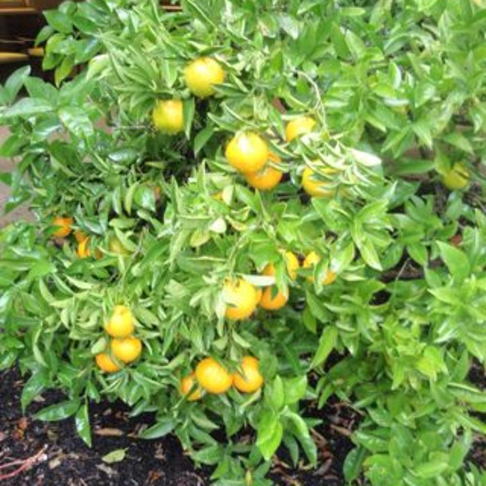 Got Oranges Make Mimosa Fruit Salad Sunset Magazine