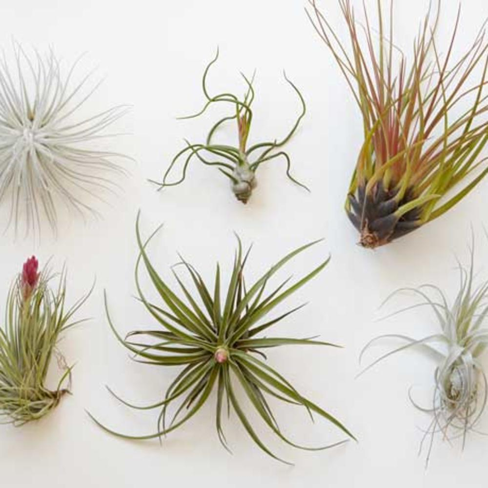 6 Simple Tricks To Keep Your Air Plant Alive Sunset Magazine