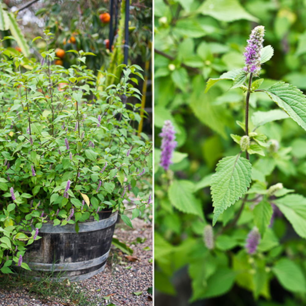 5 delicious vietnamese herbs to grow and eat sunset magazine - Vietnamese Garden