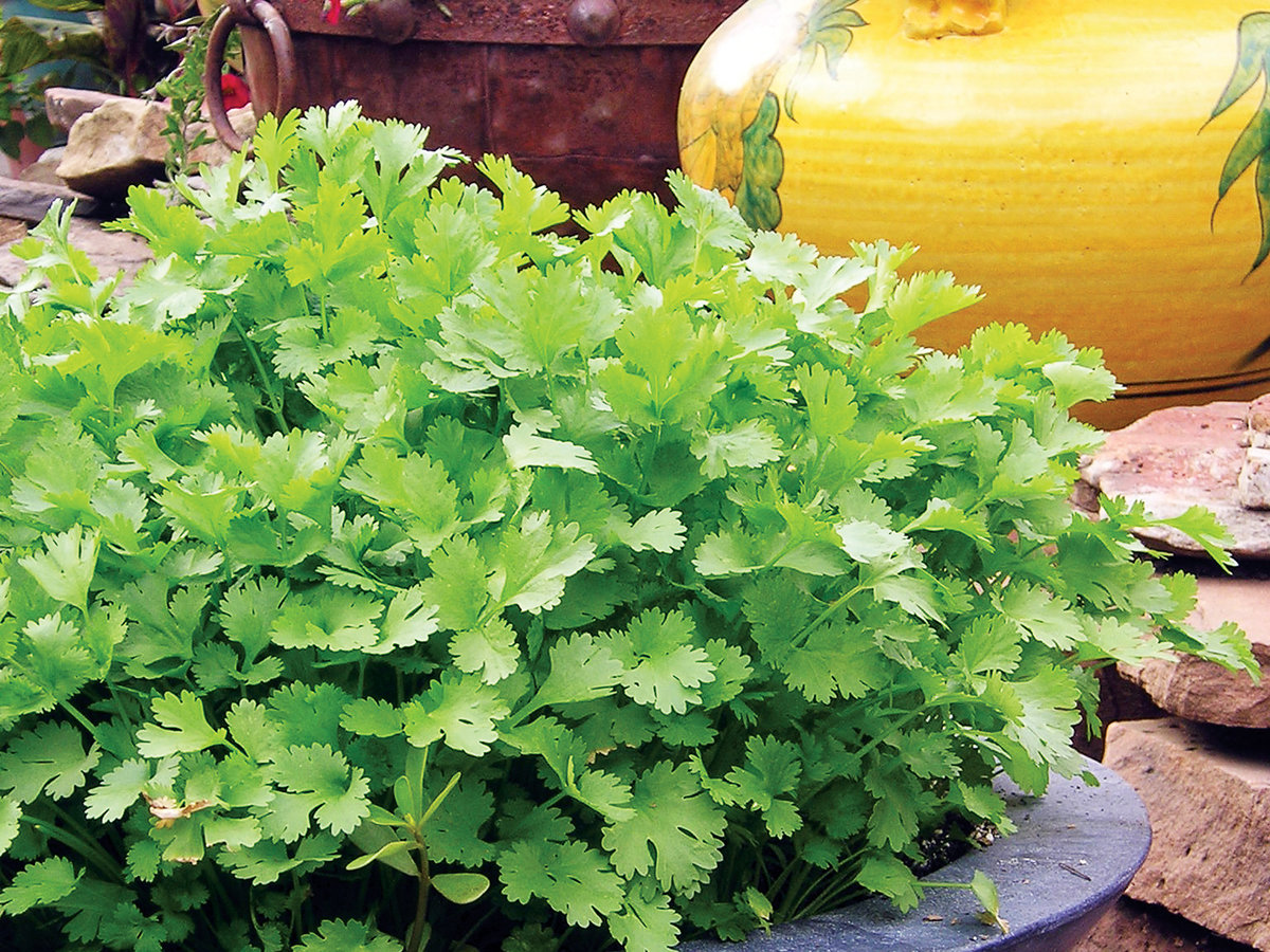 Grow Cilantro the Better Way—We Call It Mesclun-Style