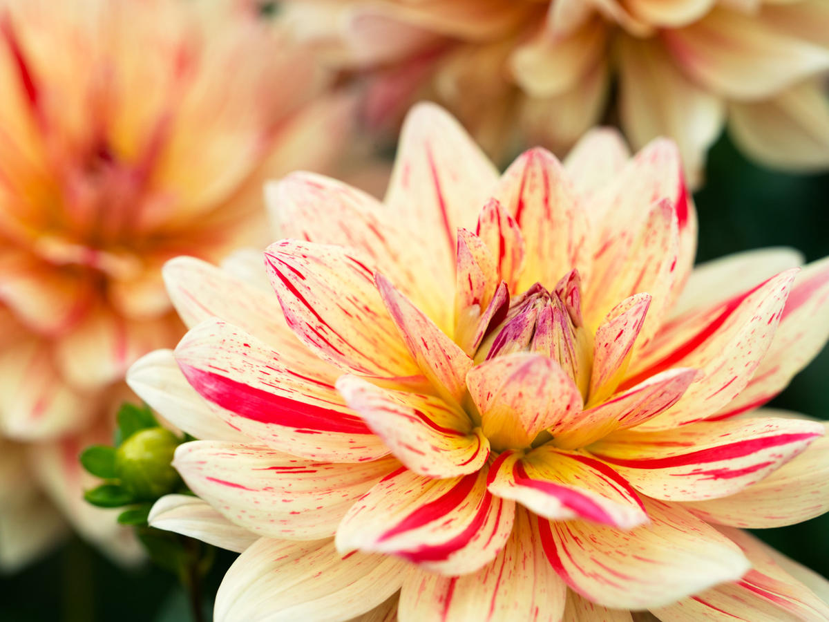 50 Gorgeous Dahlias Sunset Magazine