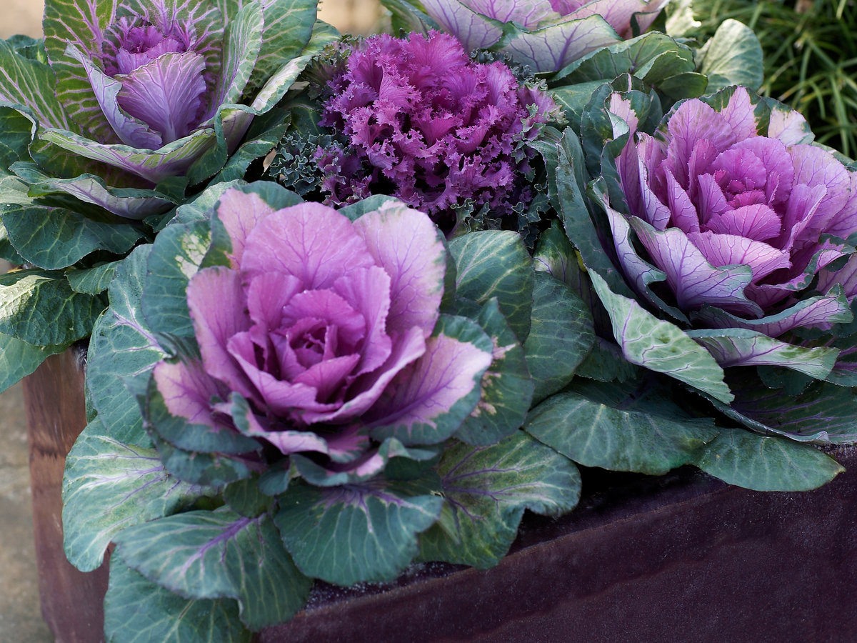 Kale In Containers Sunset Magazine