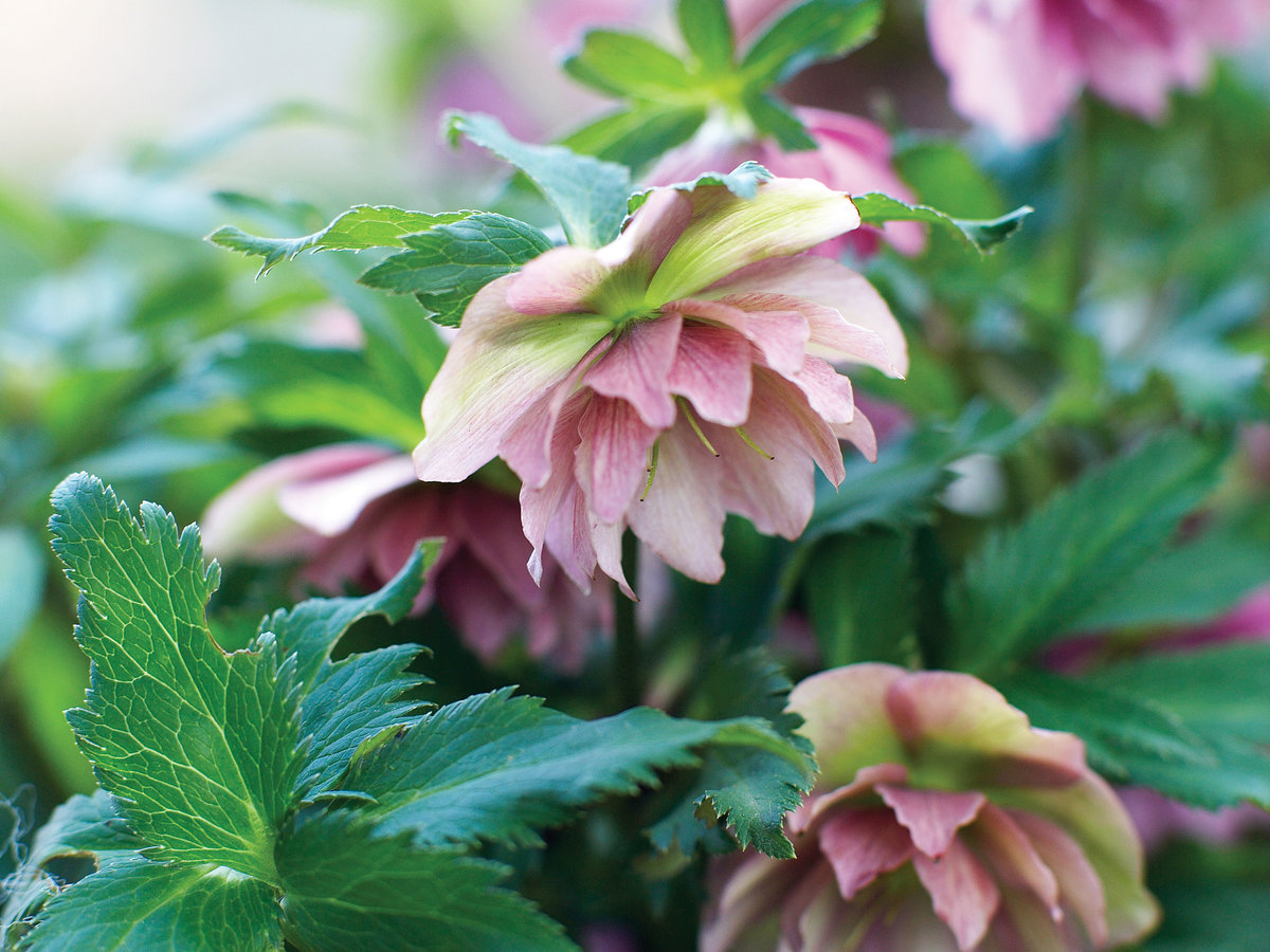 Party Dress Hellebore