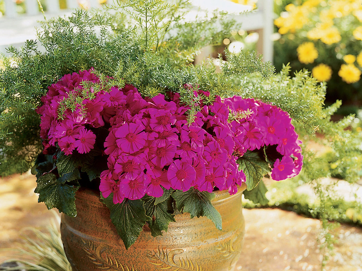 Colorful annuals make welcome additions to winter to spring gardens florists cineraria izmirmasajfo