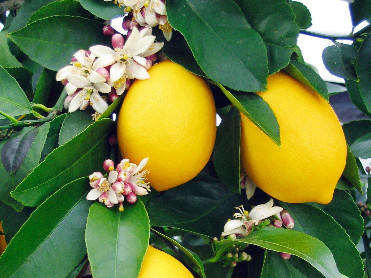 How To Grow A Eureka Lemon Tree