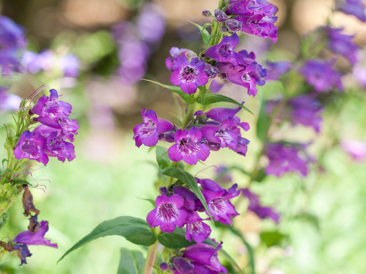 Penstemon Beard Tongue (Penstemon)