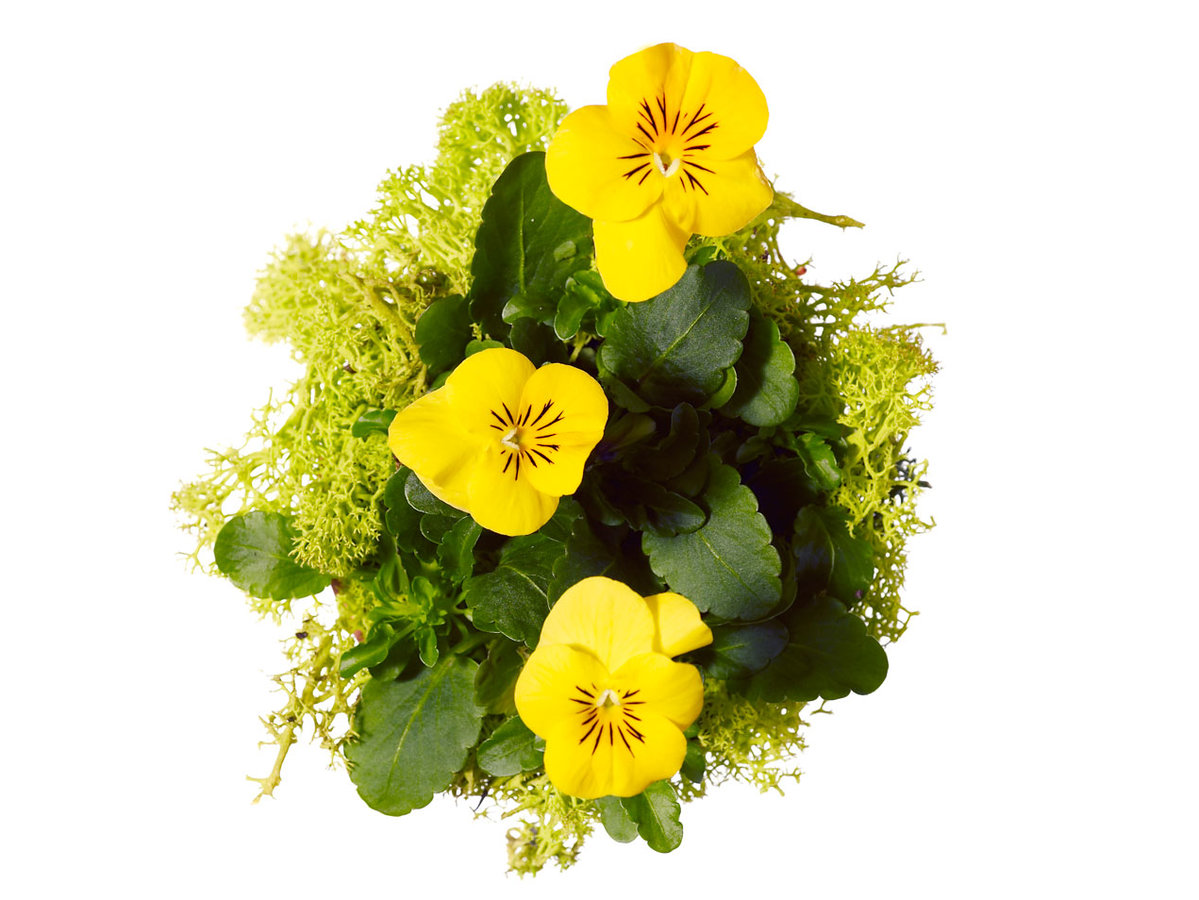 Green reindeer moss and violas