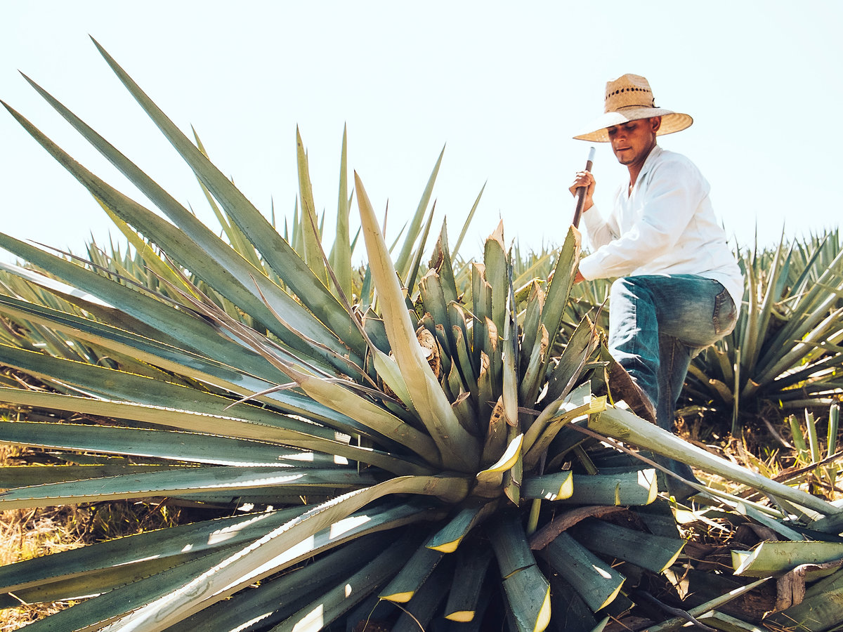 A jimador disarms an agave plant