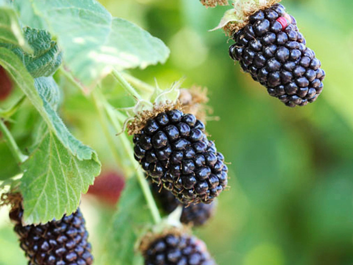 Washington blackberries
