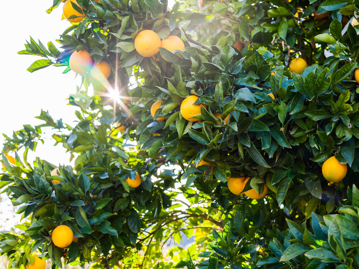 Our Guide to Growing Citrus in the Garden