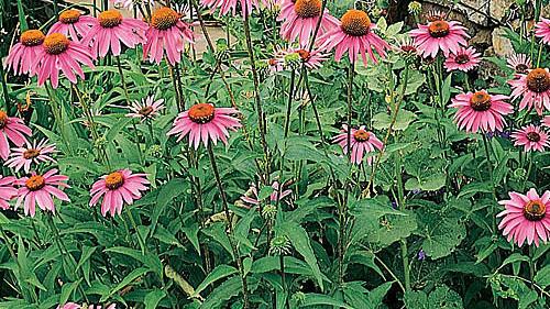 Echinacea Sunset Magazine