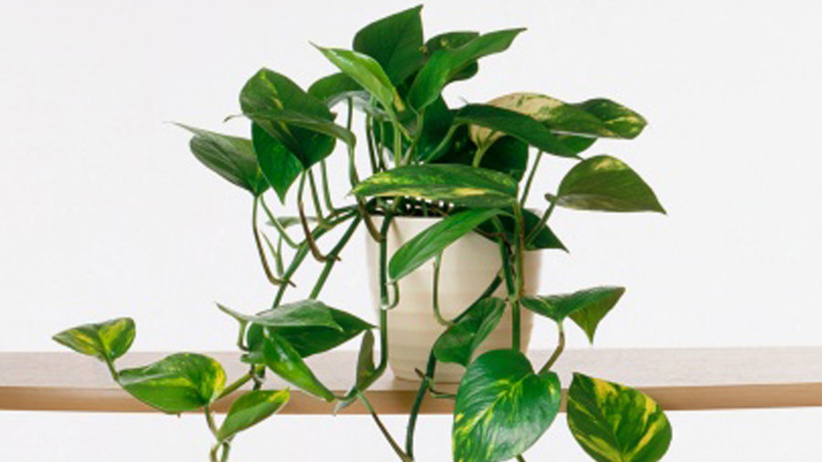 devils-ivy-getty-xl Different Types Of House Plants Ffenbachia on