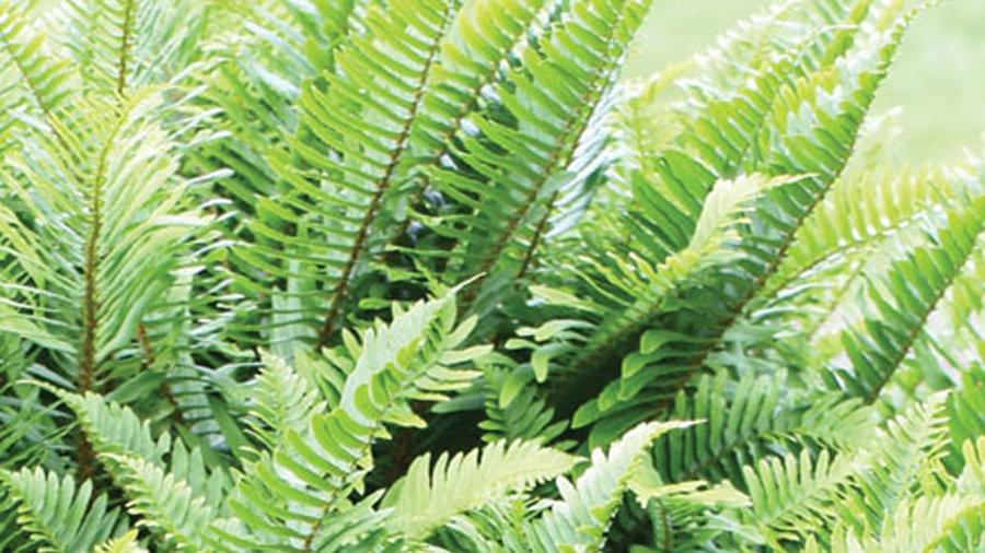 Western sword fern (Polystichum)