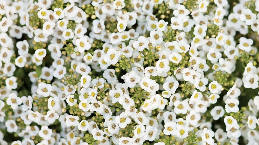 Sweet alyssum <i>(Lobularia maritima)</i>