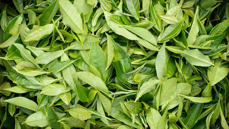 Minto Island Growers harvested tea