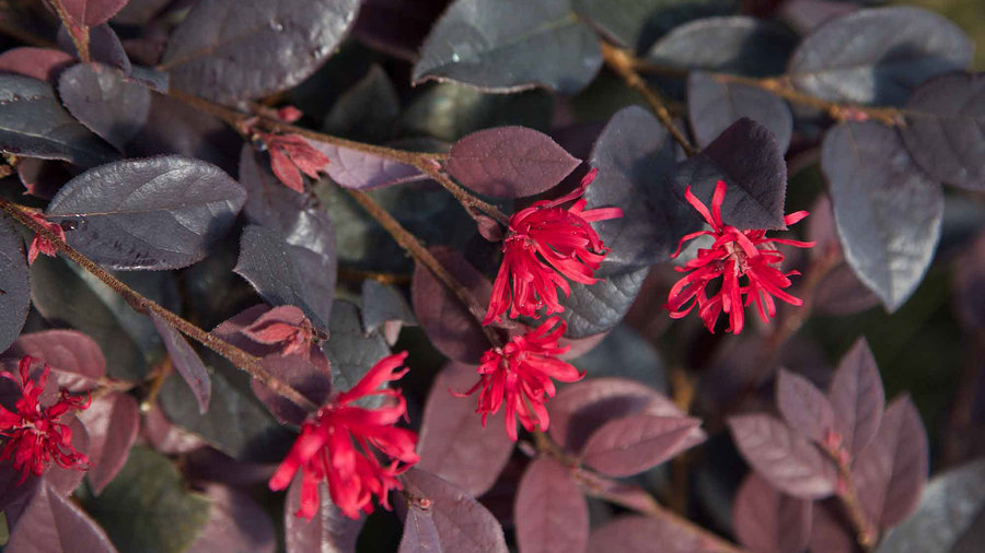 Red Diamond™ Loropetalum