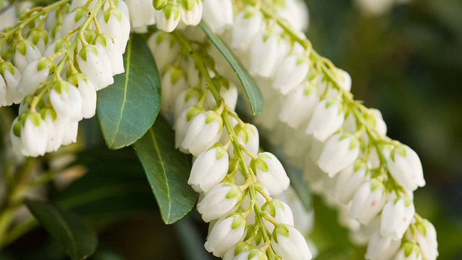 Mountain Snow™ Pieris