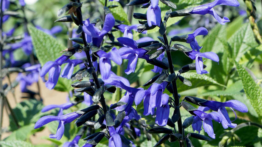 'Black and Bloom' Salvia