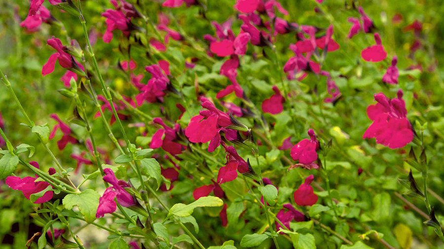 'Killer Cranberry' Salvia