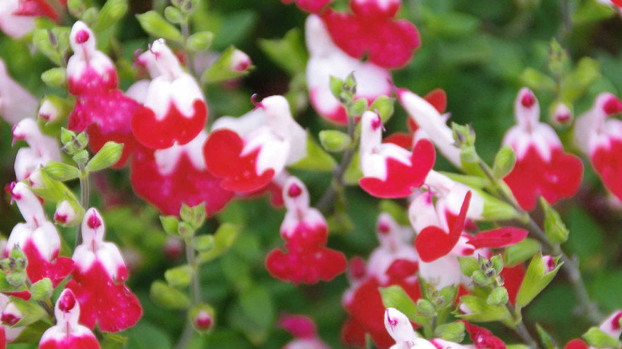 'Little Kiss' Salvia